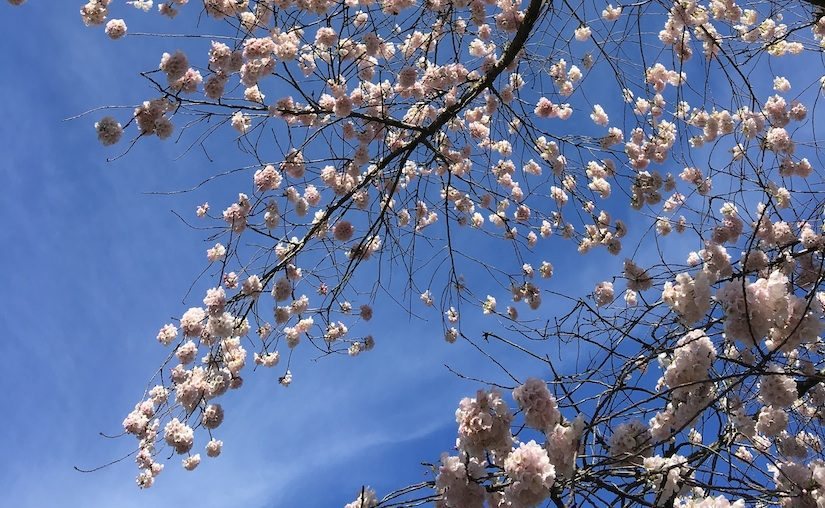 A slim branch full of Japanese cherry blossoms against a bright blue sky