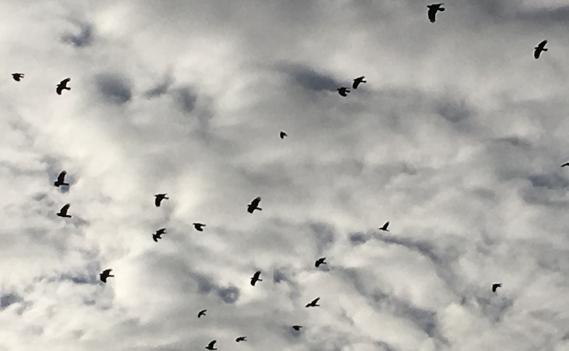 Murder of crows fly against grey and white blanket of puffy clouds