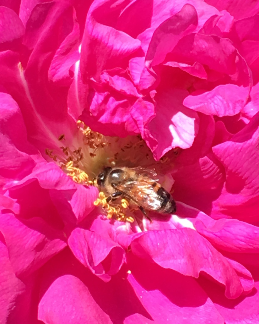 Close-up of a bee getting its fill of pollen from a fuschia peony