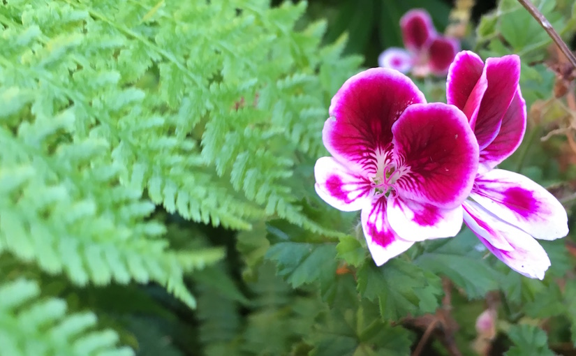 Purple geranium set off against gentle green of ferns.