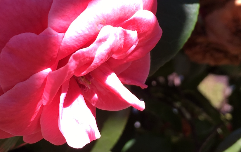 One dark pink rose illuminated by light at end of day.