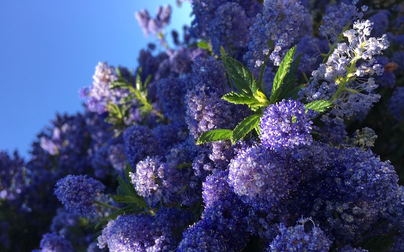 Huge shrub of purple California lilacs don't flinch as they stare at the sun in the western sky.