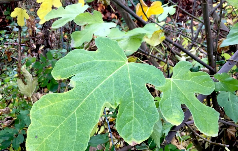 Close up of two fig leaves, still green, amidst fallen and yellow leaves in autumn.
