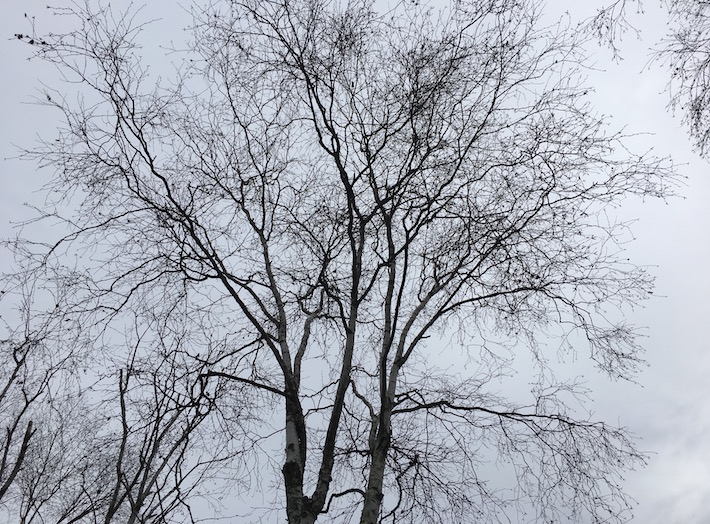 Birch tree branches without leaves against canvas of slate sky.