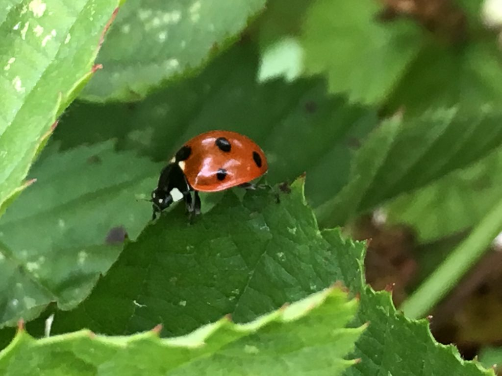 Photo of ladybug among lives, itself pausing on the ridge of a leaf